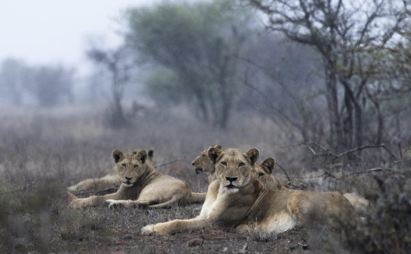 lions-in-the-rain
