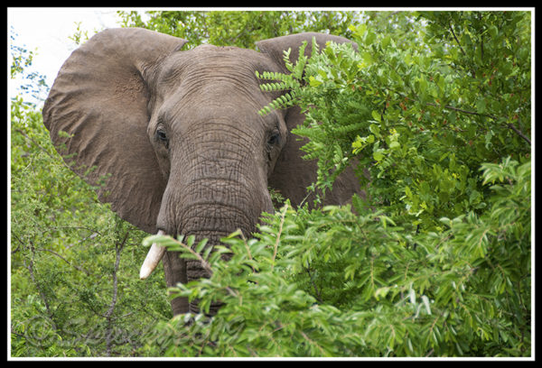 elephant-in-the-thicket