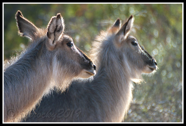 back-lit-waterbuck