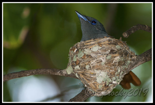paradise-flycatcher-female-on-nest