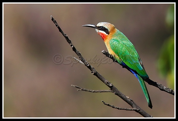 lilac-breasted-roller-12