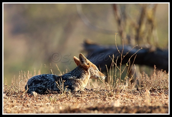 relaxed-jackal
