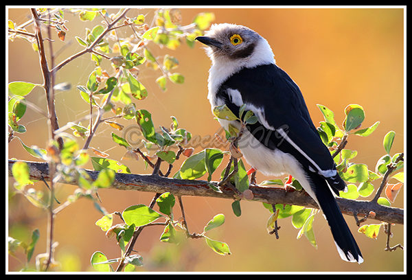 white-crested-helmet-shrike