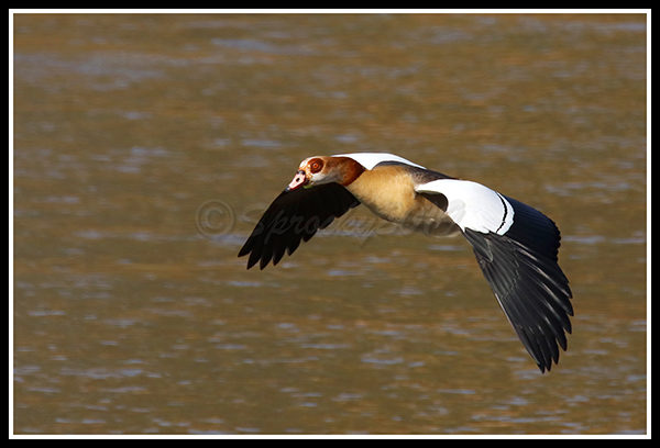 egyptian-goose-fly-by