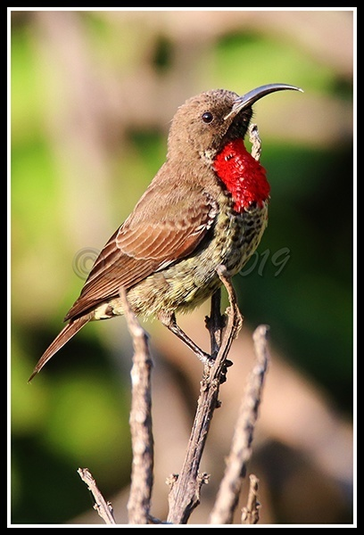 scarlet-chested-sunbird-imm-male
