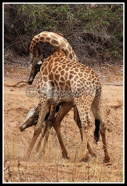 giraffe-fight