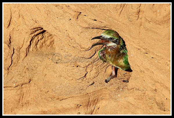 juvenile-white-fronted-bee-eater