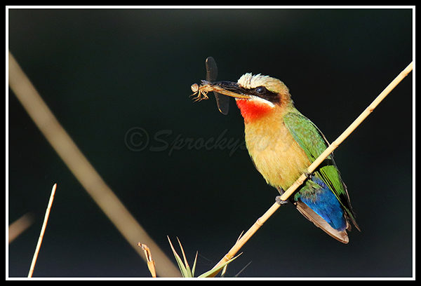 white-fronted-bee-eater-22