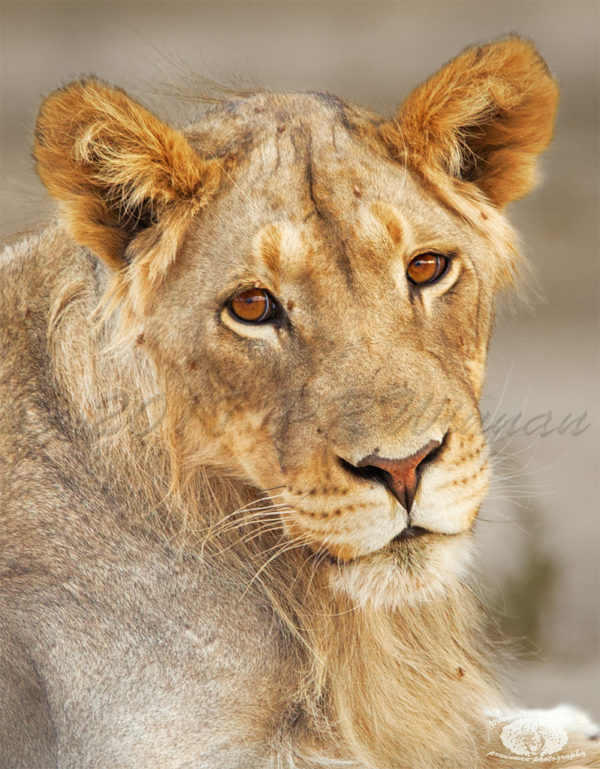 african-lion-3