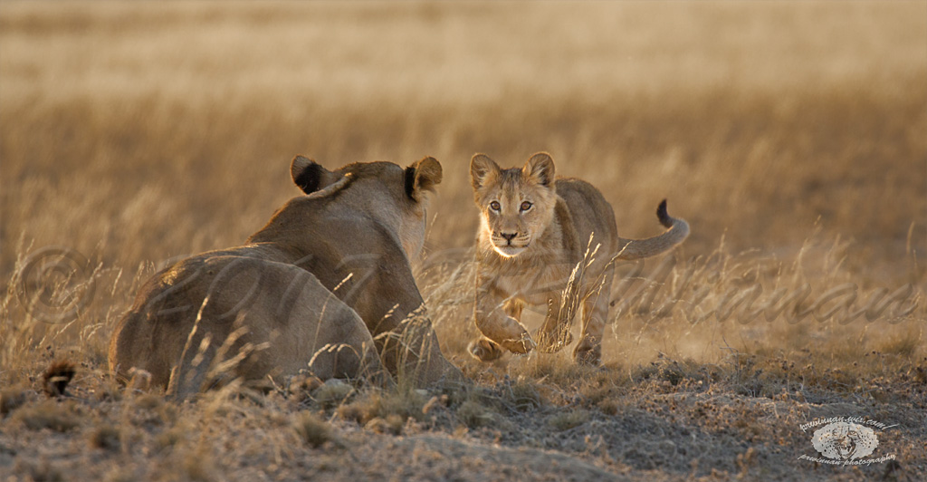 african-lion-4