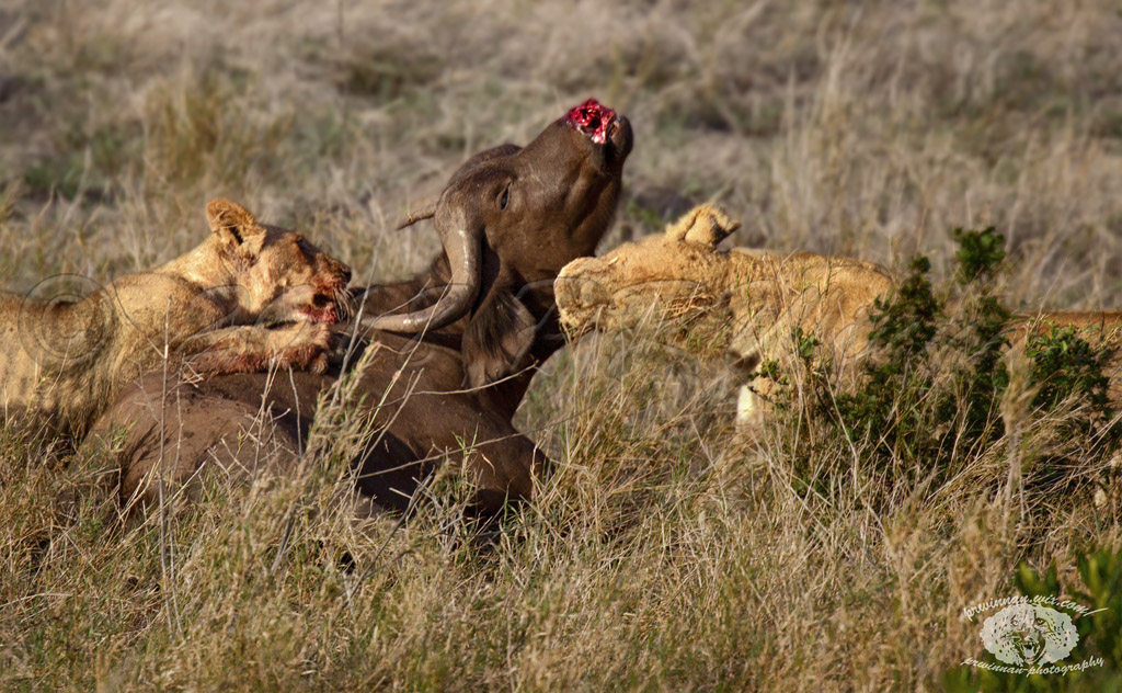 african-lions