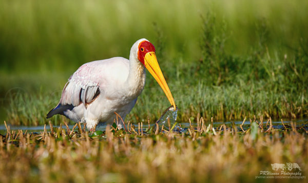 yellow-billed-stork-5