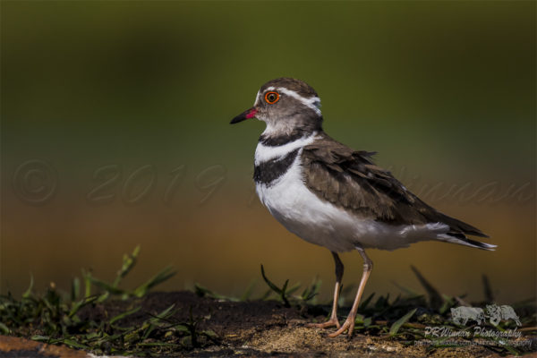 three-banded-plover-4