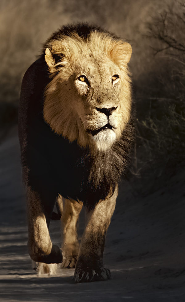 african-lion-5