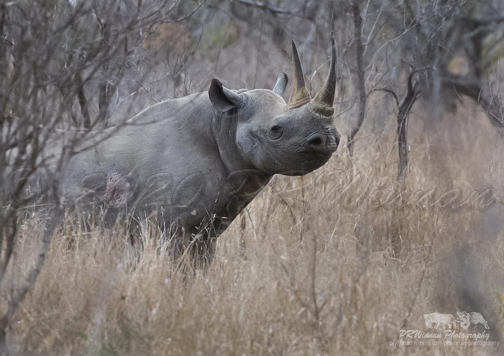 black-rhino-6