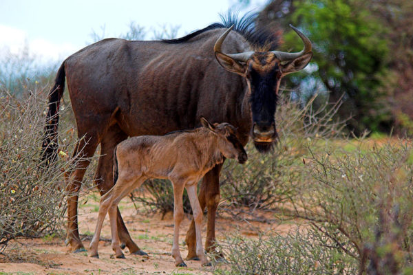 calf-and-mother