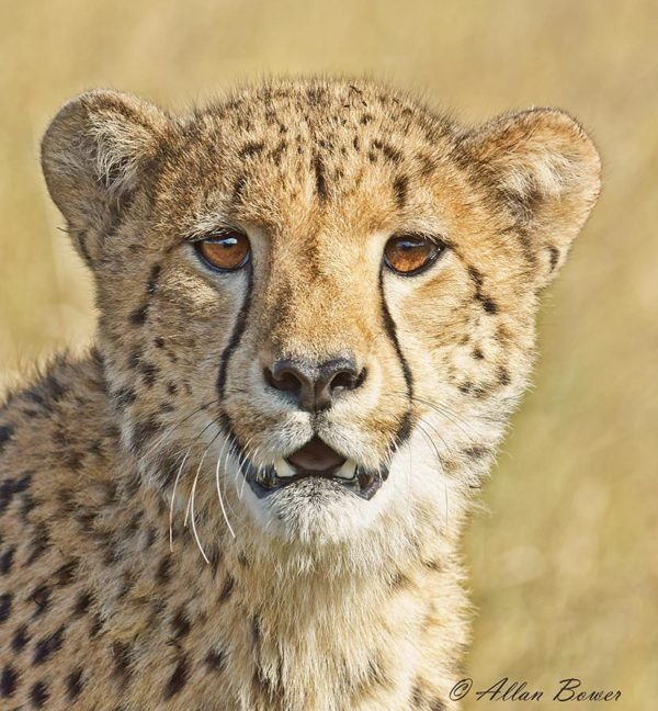 cheetah-portrait-2