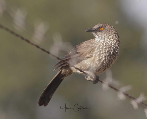 arrow-marked-babbler-marloth-park