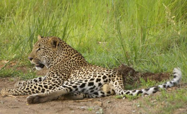 leopard-at-phabeni-gate