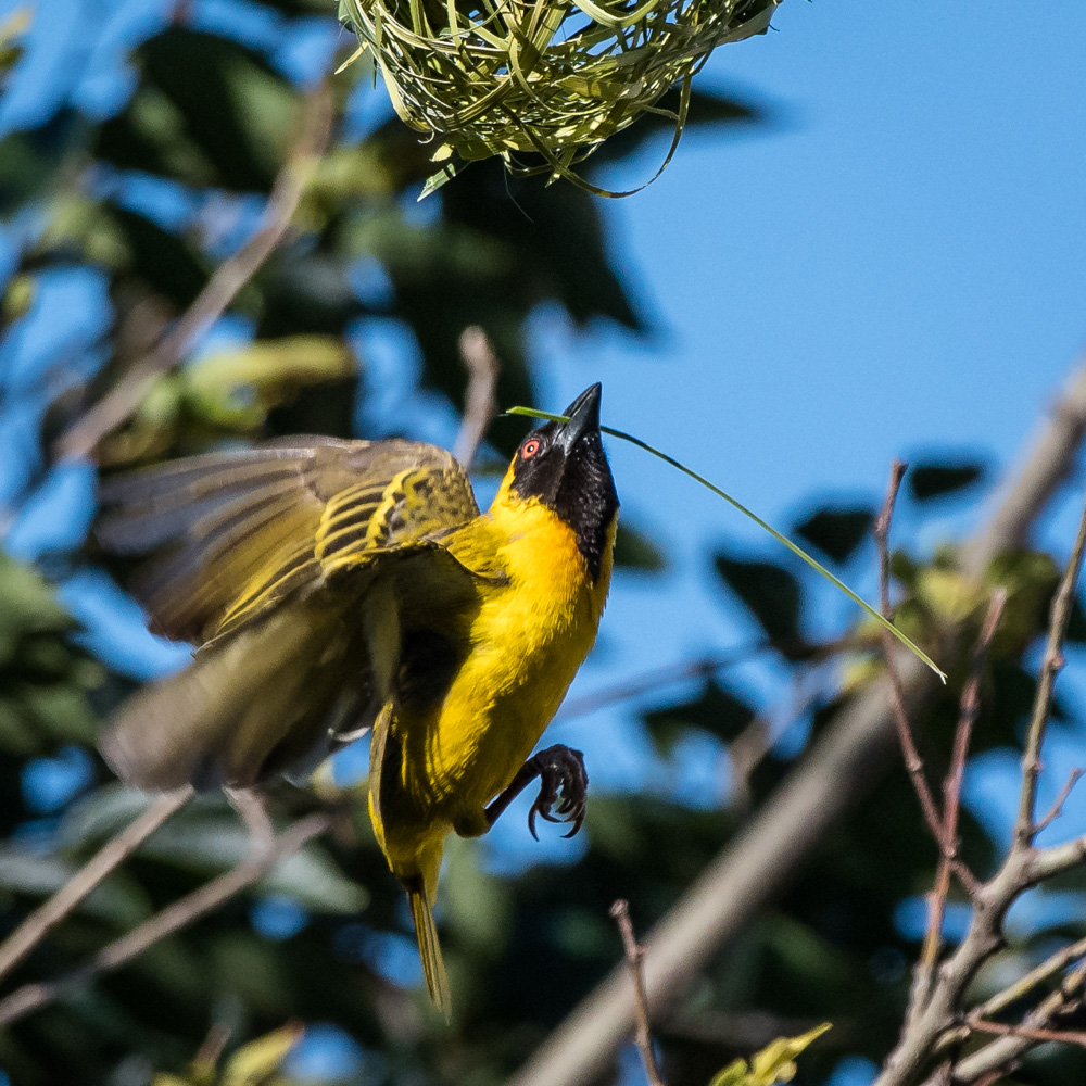 masked-weaver-in-flight