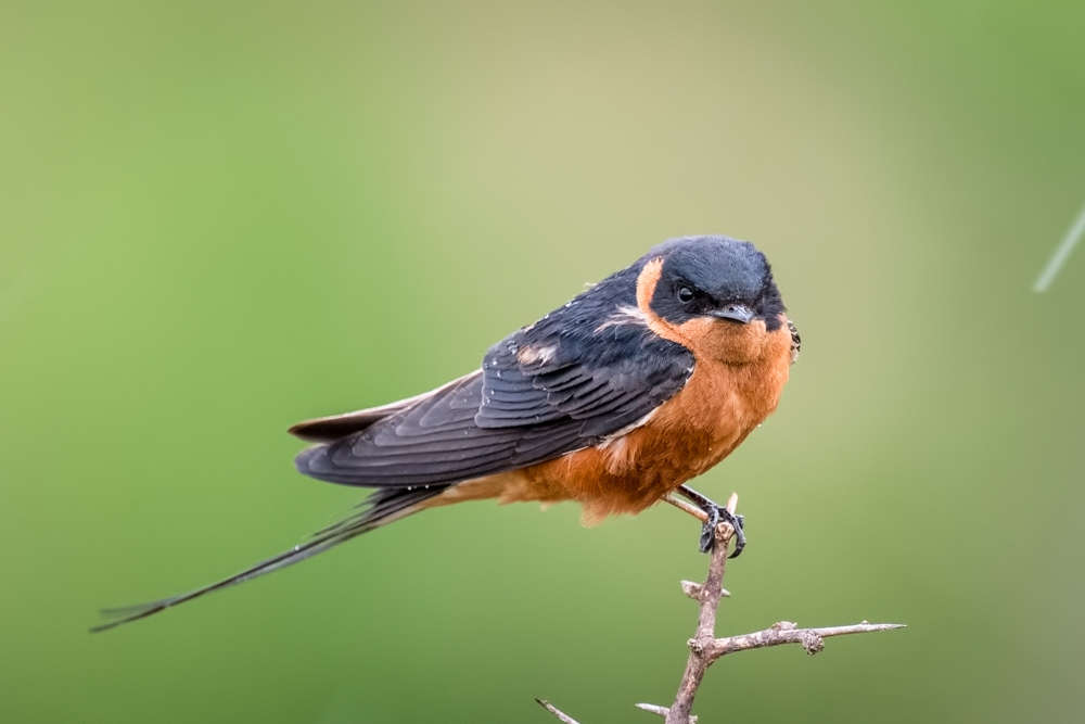 red-breasted-swallow-2