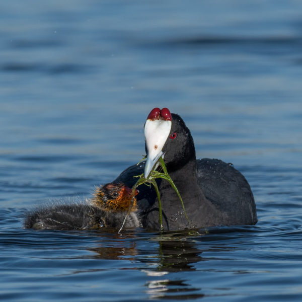 red-knobbed-coot-baby
