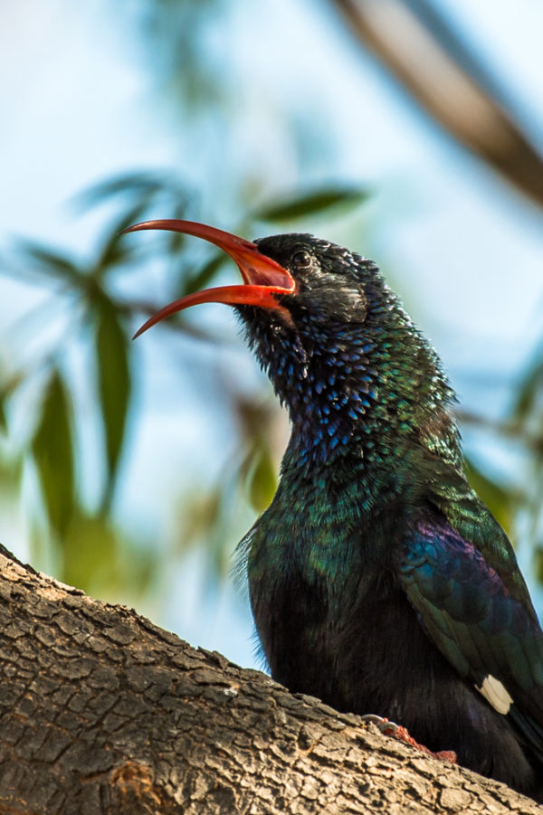 green-wood-hoopoe-5
