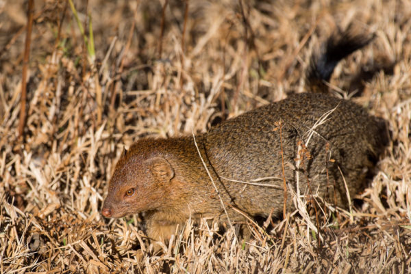 yellow-mongoose-2