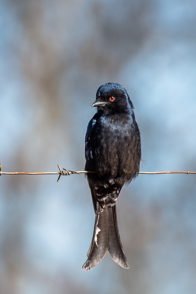 fork-tailed-drongo-5