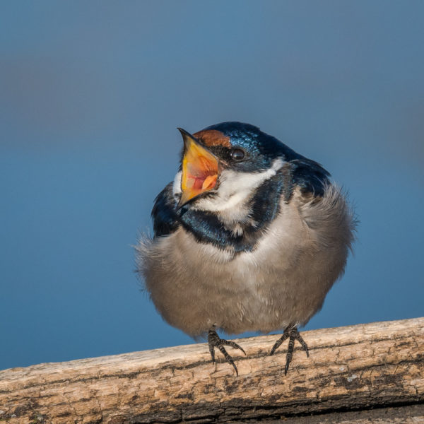 white-throated-swallow-3