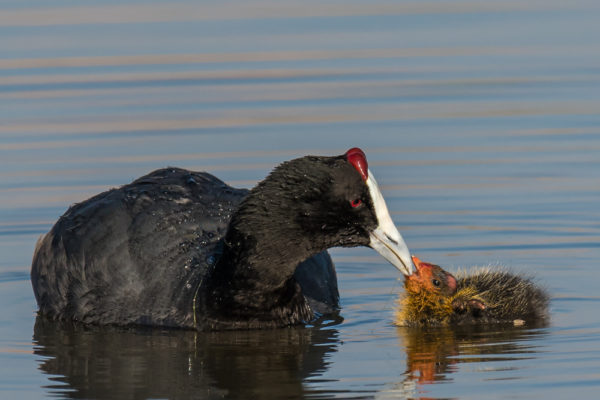 red-knobbed-coot-baby-2