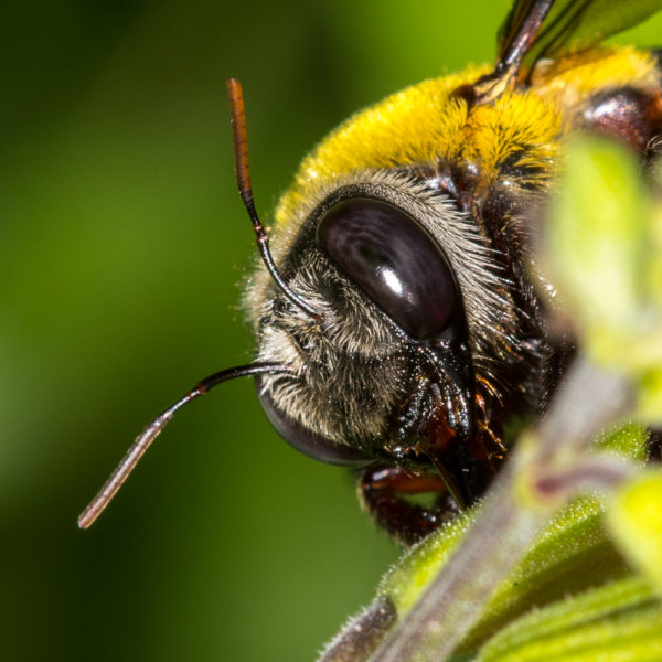 carpenter-bee-4