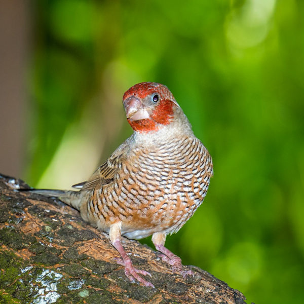 red-headed-finch-3