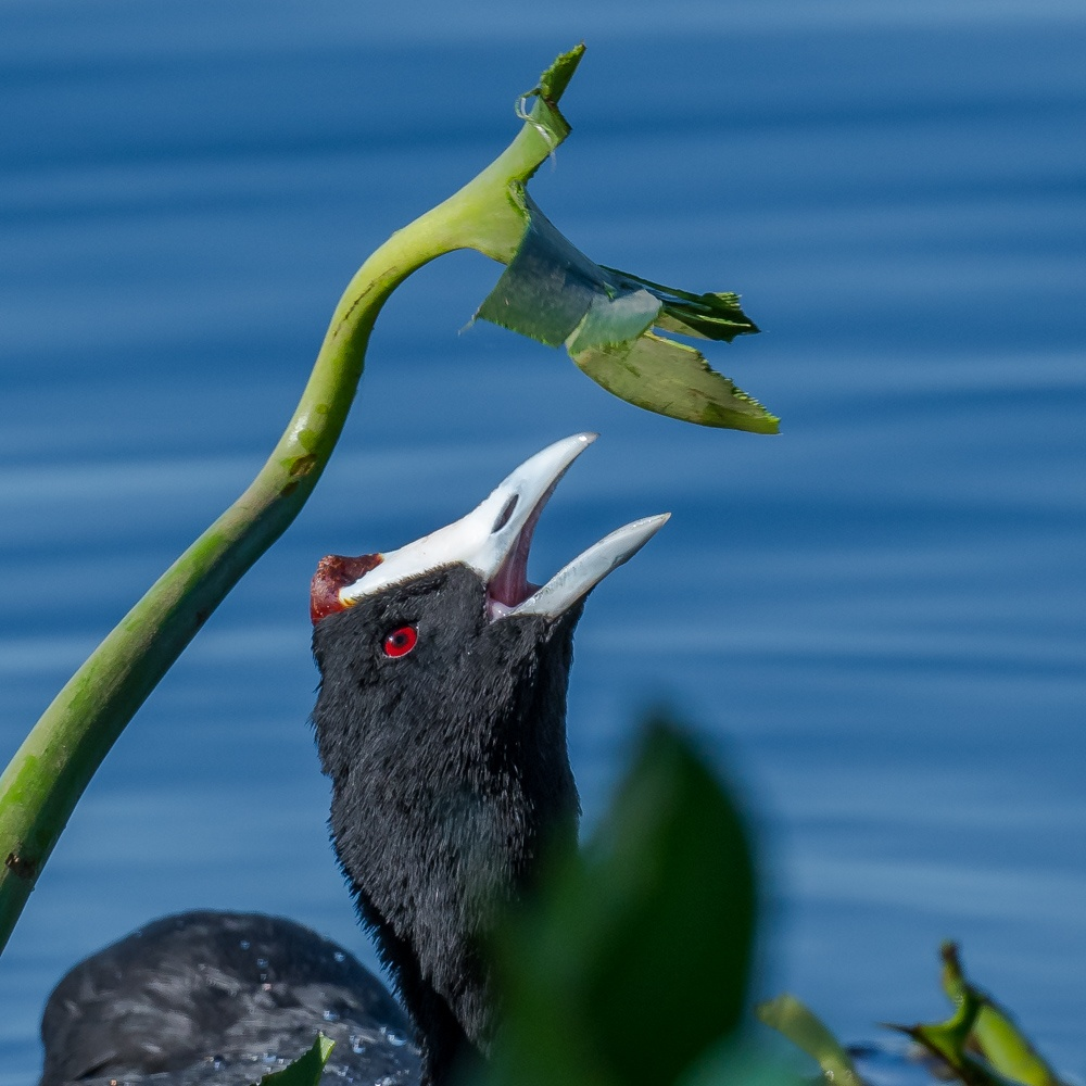 red-knobbed-coot-8