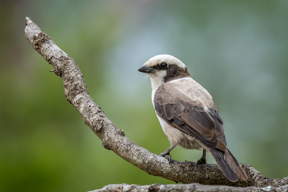southern-white-crowned-shrike-2