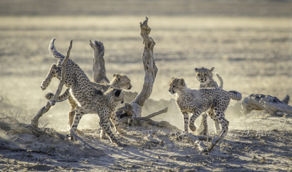 cheetah-cubs-playing