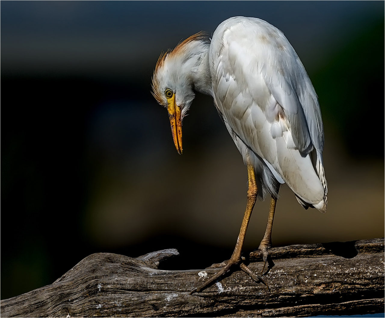cattle-egret-2-copy