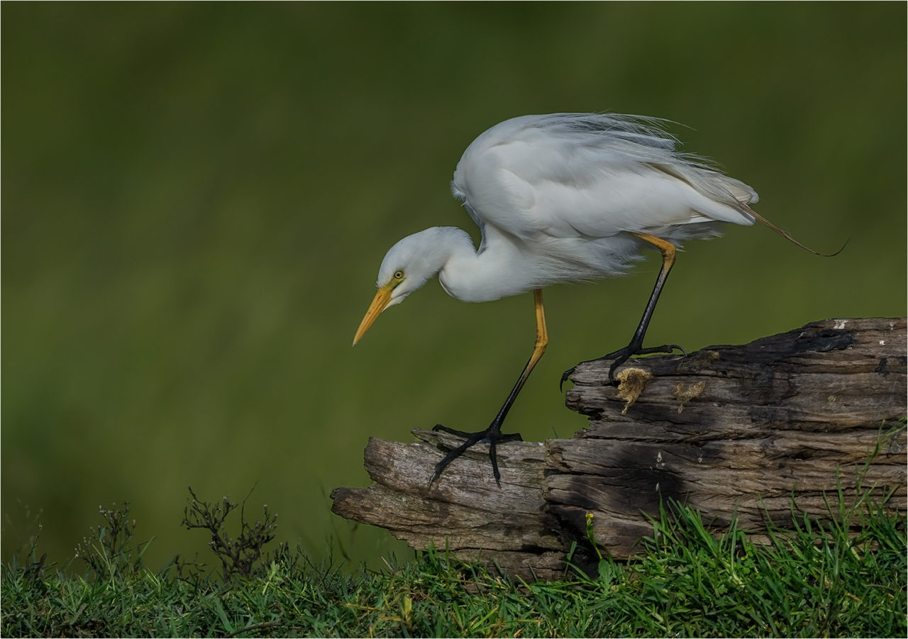yellowbilled-egret-1-copy