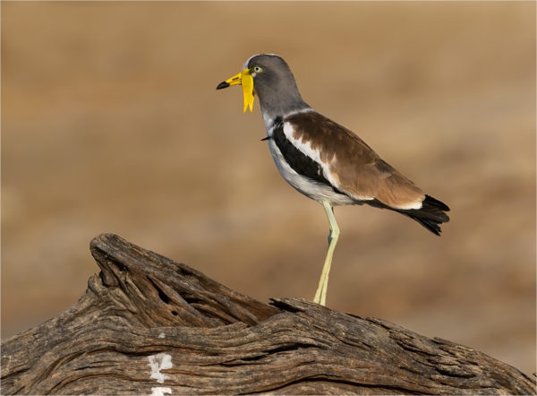 whitecrowned-plover-copy