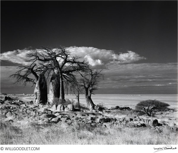 baobabs-2