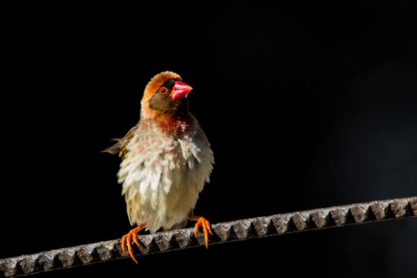 red-billed-quelea