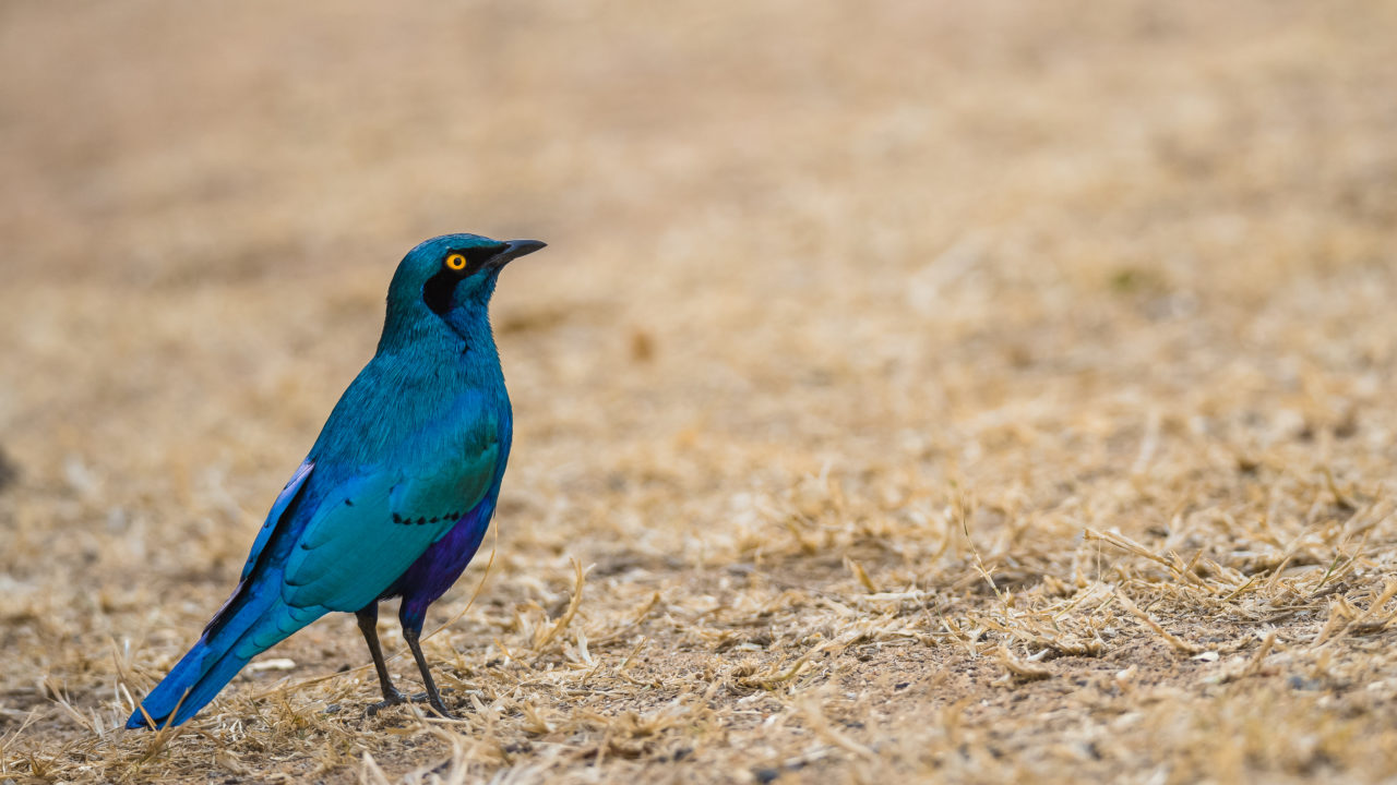cape-glossy-starling