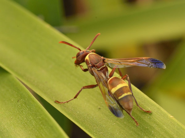 paper-wasp_ijc5738