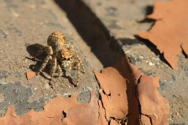 another-jumping-spider