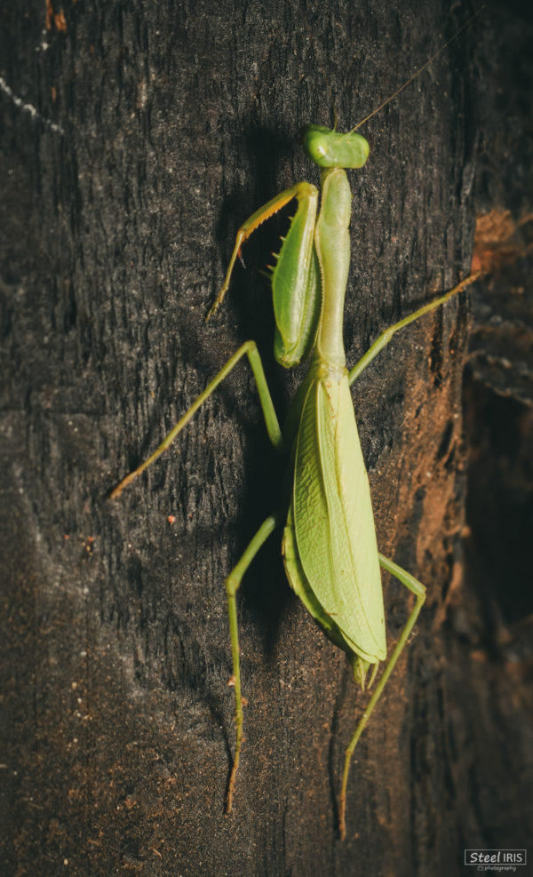 praying-mantis-4