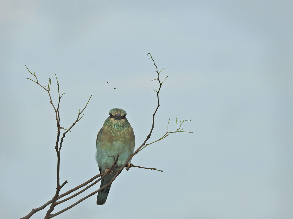 lilac-breasted-roller-10