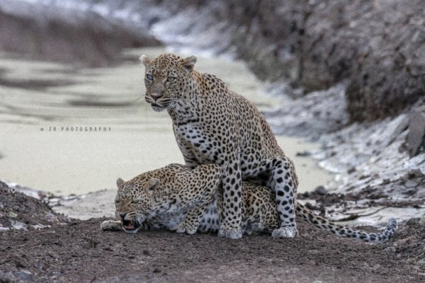 shingwedzi-leopards-mating