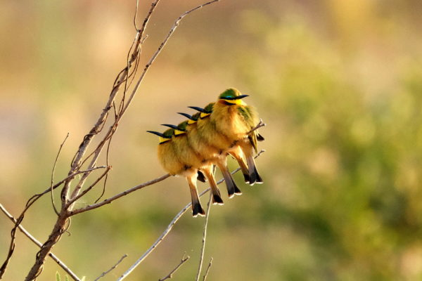 little-bee-eater-sabie-river