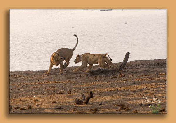 rough-tumble-lions-grootvlei-kruger-national-park