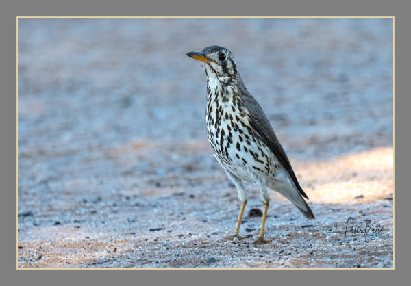 groundscraper-thrush-2